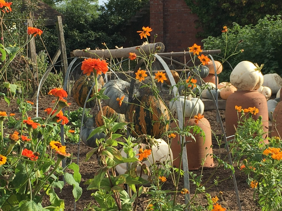 Autumnal scene of a vegetable garden with many large pumpkins in view