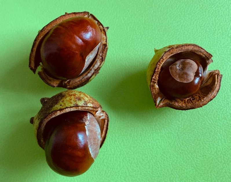 Three conkers on a green background