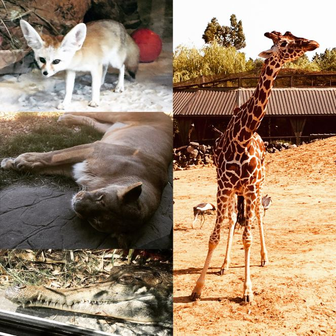 Various animals shown at Colchester Zoo –  a Fennec Fox, a basking lioness, a West African slender-snouted crocodile and a giraffe