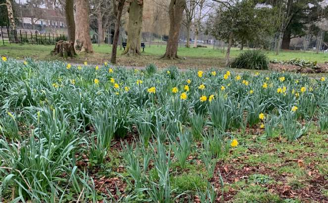 A large patch of daffodils is show in a park in early Spring