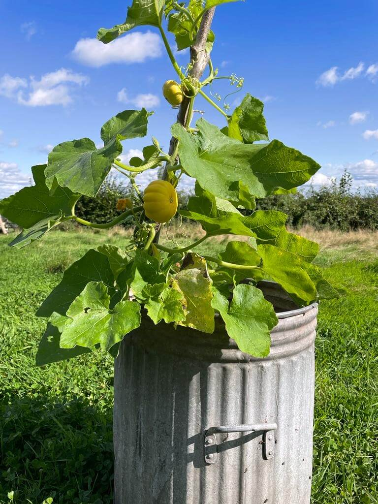 A galvanised bin is shown in a field with a squash plant growing inside